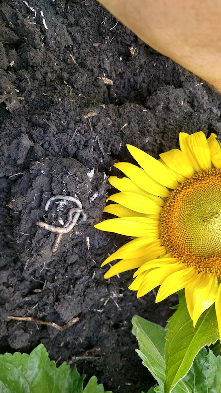 Micro-Energy Sunflower and Worms